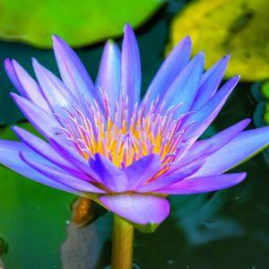 fine art print water lily bangkok thailand